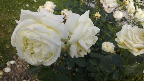 Im Rosengarten