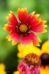 Gaillardia (Yorkey&Rin) Tags: summer flower macro japan july olympus neighborhood  gaillardia kanagawa rin kawasaki 2015  em5   pc236599 olympusm60mmf28macro