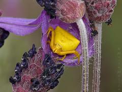 Indiscreta (Maite Mojica) Tags: flores flor amarillo araa amarilla cangrejo mimetismo lavandula thomisus camuflaje thomisidae espliego onustus stoechas cantueso indiscrecin cripsis