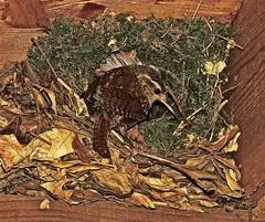 Wren at Nest (Deepgreen2009) Tags: bird nest small shed entrance parent wren