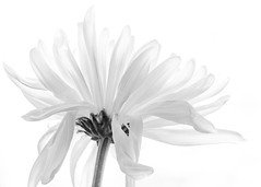 white on white, @ home (gks18) Tags: flower nature floral canon naturallight highkey windowlight 100mmmacro canon7d