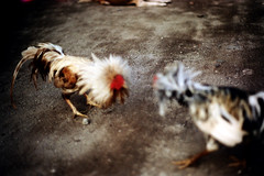 27-246 (ndpa / s. lundeen, archivist) Tags: bali color bird film birds 35mm indonesia nick cock arena dirt southpacific rooster cocks 1970s 27 1972 roosters indonesian cockfight gamecock gamecocks dewolf oceania pacificislands cockfighting nickdewolf photographbynickdewolf cockfightingarena reel27 cockfightarena