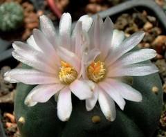 Lophophora williamsii (Lem. ex Salm-Dyck) J.M. Coult. flower (Skolnik Collection) Tags: cactus flower lophophora williamsii skolnik