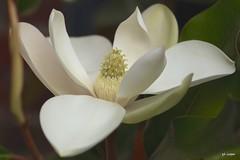 Magnolia (cooper.gary) Tags: life flowers white plant flower macro art canon garden photography living petals flora natural blossom pierre petal stamen bloom magnolia moment now pure magnol magnoliaceae canon5dmkii gtkuper