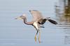 TriColored Heron (Linda Martin Photography) Tags: birds usa florida wildlife merrittisland nature naturethroughthelens tricolouredheron coth ngc npc