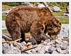 Grizzly Bear In Search Of It's Next Meal (Hawg Wild Photography) Tags: grizzlybear grizzlywolfdiscoverycenter bear bears wildlife nature animal animals terrygreen predator nikon d810 nikon200400vr hawg wild photography