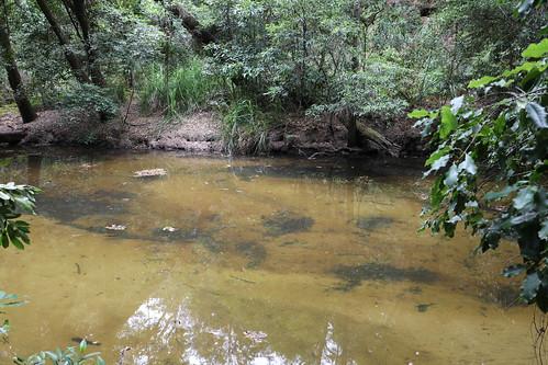 Smiths Creek with the Coachwood (Ceratopetalum apetalum)