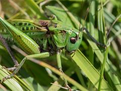 Wart Biter (Neil Phillips) Tags: bushcricket cricket decticusverrucivorus ensifera insecta orthoptera tettigoniidae tettigoniidea tettigonioidea wartbiter arthropod arthropoda green hexapod insect large