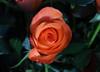 DSC_4242 Rose (PeaTJay) Tags: nikond750 reading lowerearley berkshire macro micro closeups gardens indoors nature flora fauna plants flowers bouquetofroses rose roses rosebuds