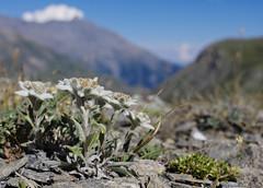 Stella Alpina (Gianpaolo Bottin) Tags: closeup france rhonealps montcenis nature flower stellaalpina leontopodiumalpinum edelweiss