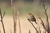 Dwerggors - Little bunting (aaronmeijer2) Tags: canon eos 1200d wildlifephotography wildlife bird animal bunting gors zangvogel noordwijk