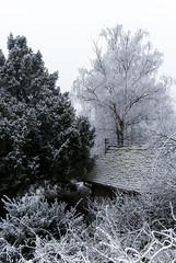 Yew & birch (Zoran Babich) Tags: yew birch frost winter zagreb cityofzagreb croatia hr