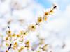 梅花 (紅襪熊 ʕ・ᴥ・ʔ) Tags: 梅花 陽明山 olympus e30 50mm macro bokeh plum blossom blossoms