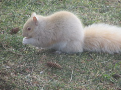 """GHOST SQUIRREL"" (bitemeasshole69) Tags: cobourg rodent albino squirrel winter large white furry fuzzy cute snacking busy bushy"