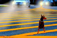 Crossing Guard (floralgal) Tags: doberman dig dog pet animal bigdog dobermandirectingtraffic crossingguard dogdirectingtraffic traffic intersection busyroadintersection dobermanatbusytrafficintersection doginmiddleofstreet ryenewyork