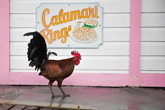 Gourmet cock (Nathalie Le Bris) Tags: cock keywest animal gallo