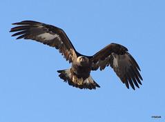 Golden Eagle in flight (miketabak) Tags: