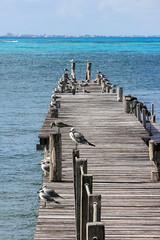 IMG_0341 (DaveGifford) Tags: mexico islamujeres birds jetty seagull casabonita quintanaroo
