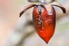 Diospyros rhombifolia with Visitor (pixelGeko) Tags: diospyros peckerwoodgardens fruit insect persimmon plant red rhombifolia