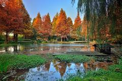 ~浪漫落羽松~  bald cypress (Shang-fu Dai) Tags: 台灣 taiwan formosa nikon d800 farm baldcypress deciduouscypress 彰化 田尾 公路花園 菁芳園 afs1635mmf4 water 花園