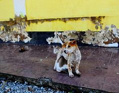 ,, Heads or Tails ,, (Jon in Thailand) Tags: cat kittycat luckycat junglecat dog k9 puppy jungle nikon d300 nikkor 175528 tails heads headsortails abandonedabusedstreetdogs abandonedanimals yellow peelingpaint decayingbuilding themonkeytemple bonding catdog littledoglaughedstories