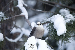 Snowy perch (Seventh day photography.ca) Tags: greyjay whiskyjack jay bird nature animal wildanimal wildlife snow winter ontario canada