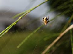 Tiny spiders (RandomIbis2k12) Tags: canon 6d taiwan yilan nature macro spider