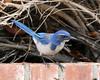 Scrub Jay 2 (Todd Battey) Tags: outdoor wildlife bird jay scrubjay westernscrubjay aphelocomacalifornica losangelescounty