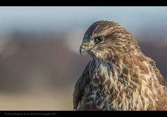 Common buzzard (Bute buteo) (Steven Mcgrath (Glesgastef)) Tags: common buzzard raptor bird prey robroyston glasgow scotland uk city urban scottish