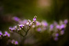 Impression (hploeckl) Tags: botanicalgarden bokeh impressive abstract flower nature purple 105mmf28