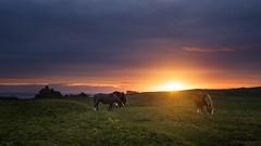 Porspoder's Horses (Tony N.) Tags: france britanny porspoder finistère horses chevaux sunset coucherdesoleil sun soleil sea mer pharedufour d810 nikkor1635f4 tonyn tonynunkovics