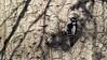 Female Downy Woodpecker (mausgabe) Tags: olympus em1 olympusm40150mmf28 olympusmc14 nyc centralpark theramble bird woodpecker female downywoodpecker