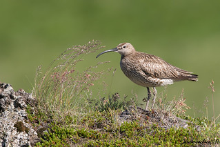 whimbrel in weeds...