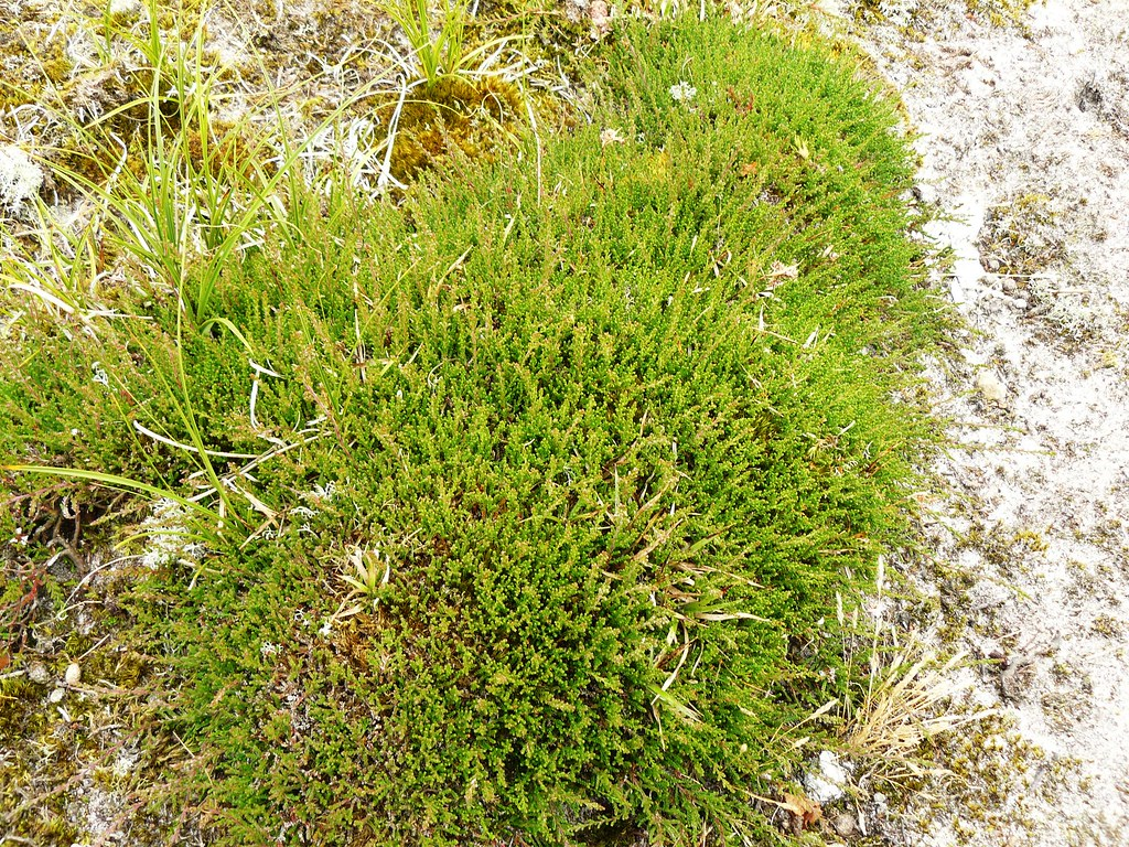 Calluna vulgaris-Besenheide3