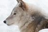 Wolf on snow II / 雪の上のオオカミ (yanoks48) Tags: wolf オオカミ animal 動物 zoo 動物園 sapporo 札幌 hokkaido 北海道 japan 日本 maruyamazoo 円山動物園