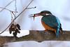 Martin-Pêcheur poisson 170115-05-RP (paul.vetter) Tags: oiseau ornithologie ornithology faune animal bird martinpêcheur alcedoatthis eisvogel kingfisher poisson