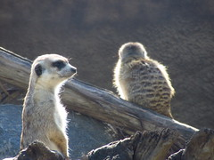 IMG_1337 (NapoleonIsNotDead) Tags: california united states san diego county zoo hakuna matata mongoose timon