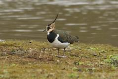 Lapwing (James Oliver Lewis) Tags: bird nature venuspool shropshire lapwing