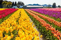 Skittles (Culinary Fool) Tags: wa washington culinaryfool barn skagitvalley tree mountains brendajpederson farm 2016 april 2470mm28 tulips
