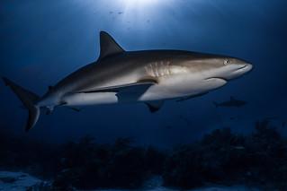 Shark - The Bahamas