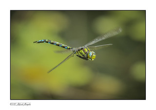Southern Hawker Dragonfly flying in the Autumn sunshine- 3