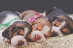 (Tc photography. Per) Tags: dog pet pets cute beagle animal canon puppy studio photoshoot loop softness cutedog doggie beagles pupies tcphotography