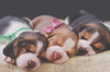 (Tc photography.Perú) Tags: dog pet pets cute beagle animal canon puppy studio photoshoot loop softness cutedog doggie beagles pupies tcphotography