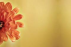 ..:: Garden ::.. (RodriiigoSouza) Tags: flower macro yellow nikon df background grunge flor pearljam micro ten 1991 60mm nikkor brasilia seatle distritofederal florzinha macrofotografia backgroundcolor eddieveder rodrigosouza rodriiigosouza rodrigaraujo rodriiigoaraujo