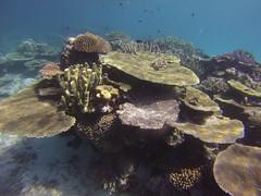 Rainbow Reef   Taveuni, Fiji (adiaphane) Tags: travel fish coral fiji marine underwater scuba diving southpacific taveuni somosomostraits