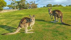 Alert Roos (RP Major) Tags: australia victoria galaxy kangaroo golfcourse roo s6 anglesea