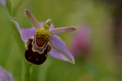 Yay! (mitchell_dawn) Tags: pareidolia meadow wildflower ophrysapifera beeorchid macromondays