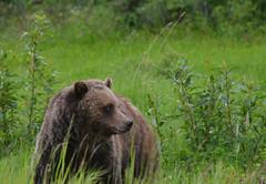 Watching For Cars (Hello, It's Me) Tags: bear canada danger britishcolumbia wildlife columbia canadian ridge british grizzly predator tumbler omnivore