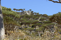 yem_1584 (Peter Hessel) Tags: yemen socotra soqotra jemen dragonbloodtree dracaenacinnabari diksamplateau fermhin