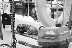old sailor (kinkypoptarte) Tags: cats dogs nature animals architecture landscape boat mazury lakes poland polska siblings sail jeziora masuria